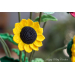 Marvelous 43 Pictures Crochet Sunflower