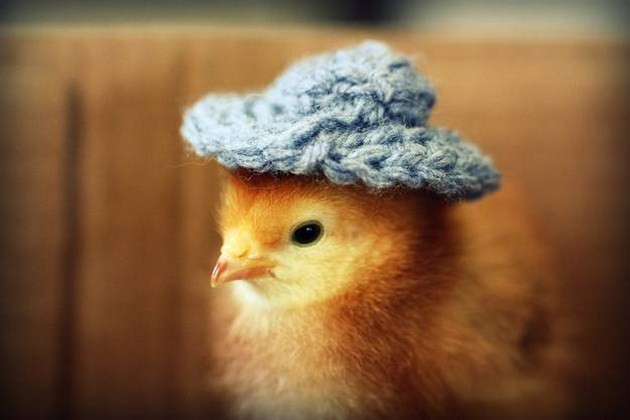 Awesome Cute Baby Chickens Wearing Knit Hats Baby Chicken Hat Of Elegant Grapher Takes Inspiration From Daughter 7 to Dress Baby Chicken Hat