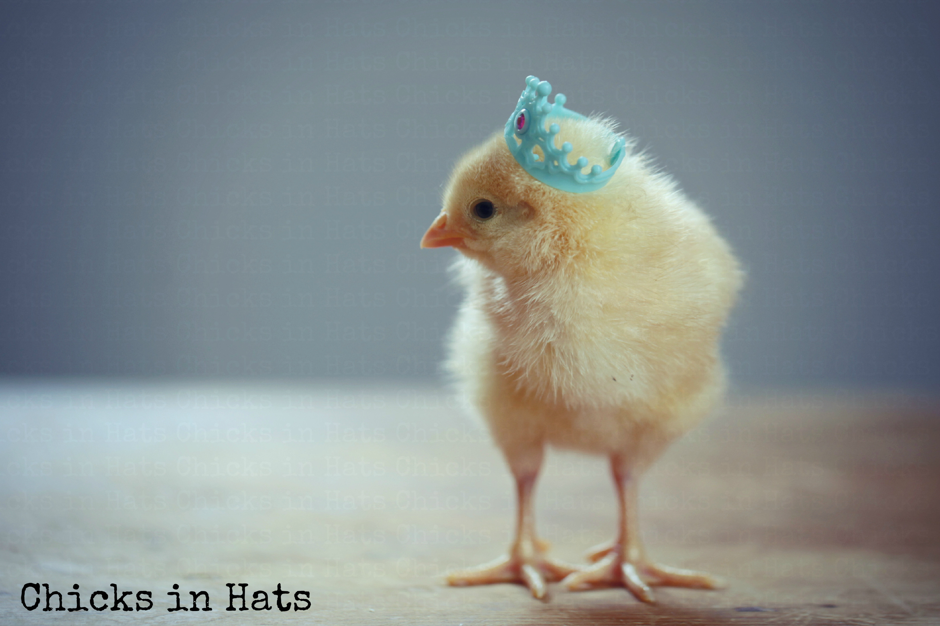 Cute Baby Chickens With Hats