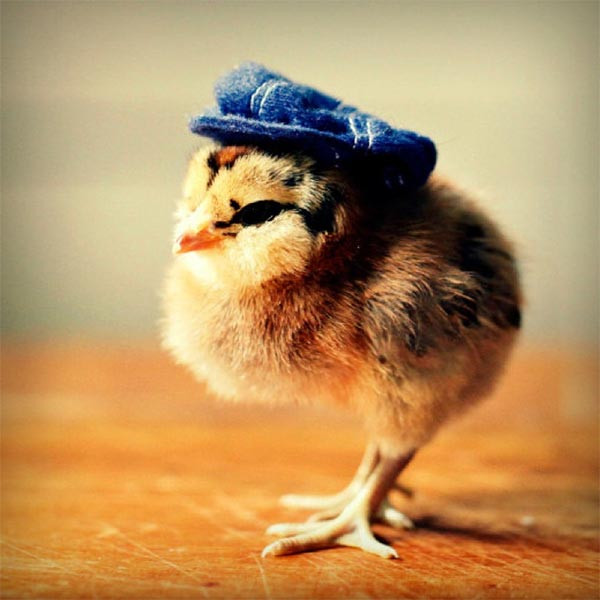 Awesome Cute Baby Chicks In Hats by Julie Persons Baby Chicken Hat Of Awesome Cute Baby Chickens with Hats Baby Chicken Hat