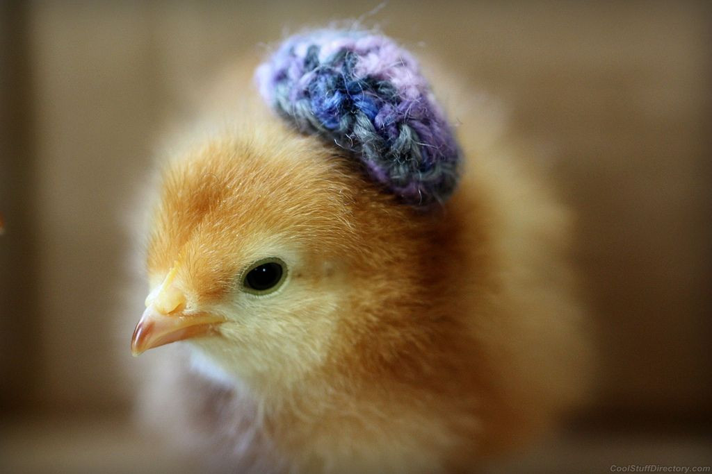 Beautiful Chicks with Hats Baby Chicken Hat Of New Baby Chick Hat Knitting Pattern Baby Chicken Hat Easter Baby Chicken Hat