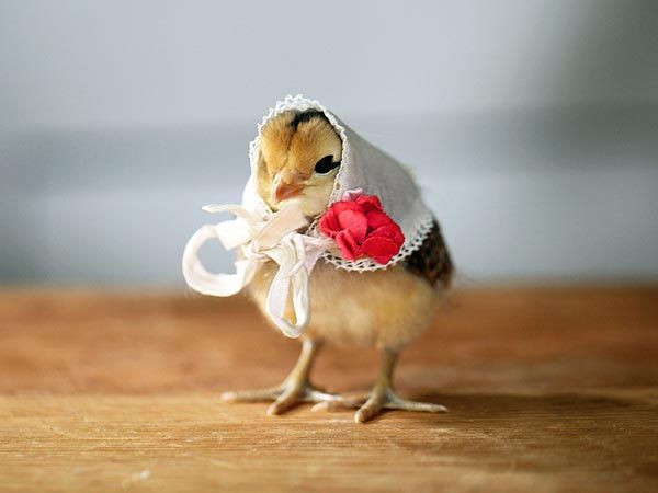 Fresh 48 Best Images About Cute Pets On Pinterest Baby Chicken Hat Of Elegant Grapher Takes Inspiration From Daughter 7 to Dress Baby Chicken Hat