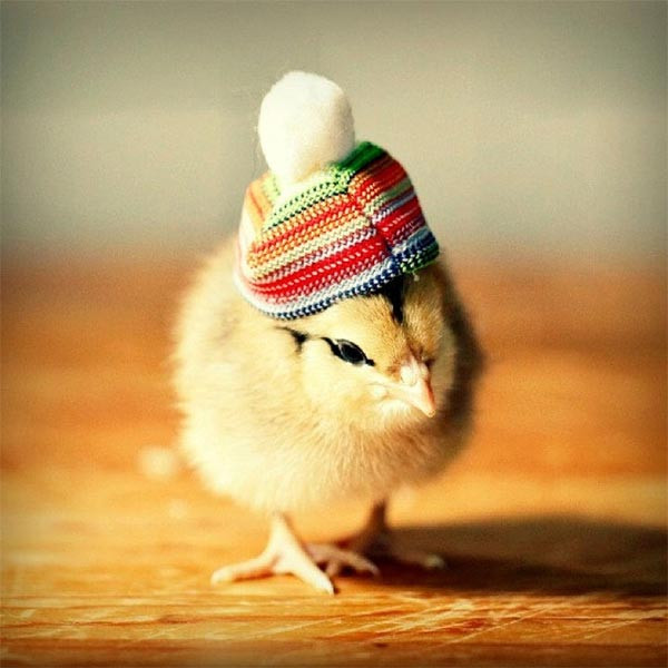 Fresh Cute Baby Chicks In Hats by Julie Persons Baby Chicken Hat Of Awesome Cute Baby Chickens with Hats Baby Chicken Hat