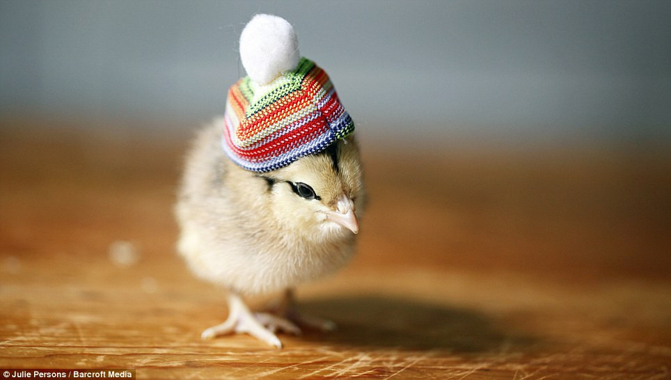 Fresh Grapher Takes Inspiration From Daughter 7 to Dress Baby Chicken Hat Of Elegant Grapher Takes Inspiration From Daughter 7 to Dress Baby Chicken Hat