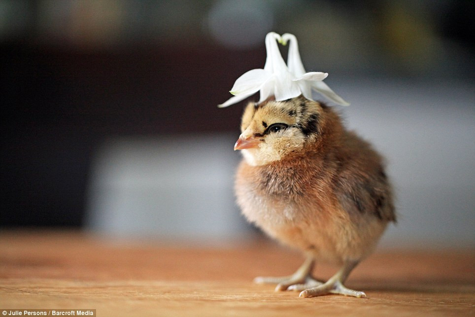 Fresh Grapher Takes Inspiration From Daughter 7 to Dress Baby Chicken Hat Of Awesome Cute Baby Chickens with Hats Baby Chicken Hat