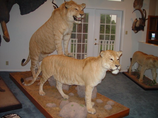 Taxidermy Gone Wild Polar Bears Cougars Lions Oh My