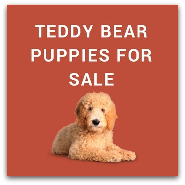 Fresh Teddy Bear Puppies for Sale Description Each Breed Stuffed Bears for Sale Of New 48 Ideas Stuffed Bears for Sale