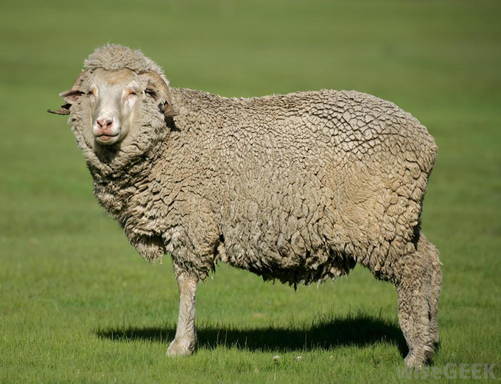 What is Merino Wool with pictures