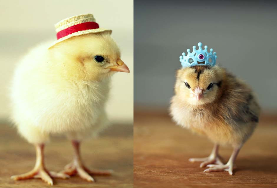 Unique Baby Chickens In Hats 2 Chicken Houses Baby Chicken Hat Of Elegant Grapher Takes Inspiration From Daughter 7 to Dress Baby Chicken Hat