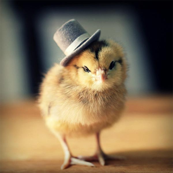 Unique Cute Baby Chicks In Hats by Julie Persons Baby Chicken Hat Of Awesome Cute Baby Chickens with Hats Baby Chicken Hat